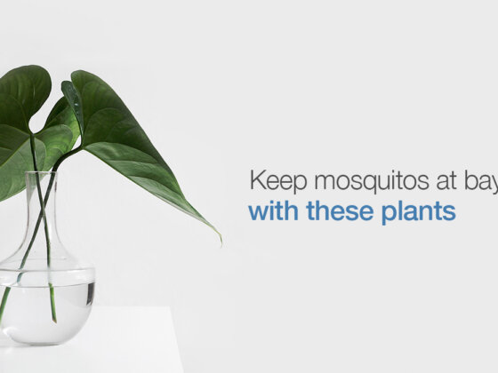 Plants which help repel mosquitoes